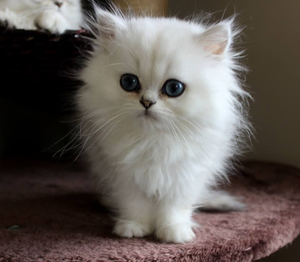 chinchilla persian cats