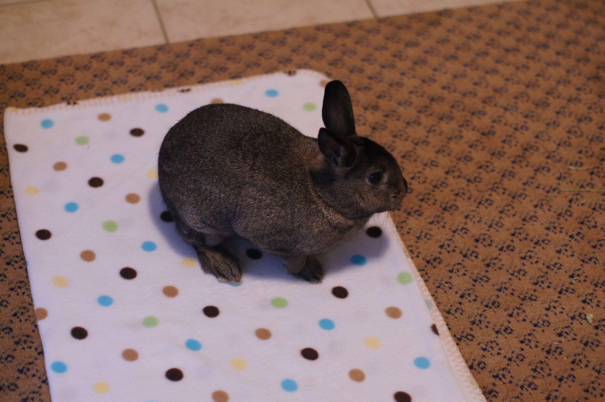 Sherman, little baby bunny