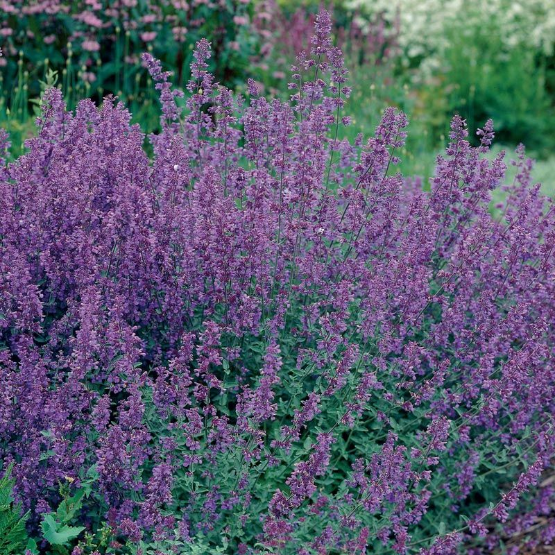 Growing Catmint (Nepeta) Pick the Best and Enjoy the Show