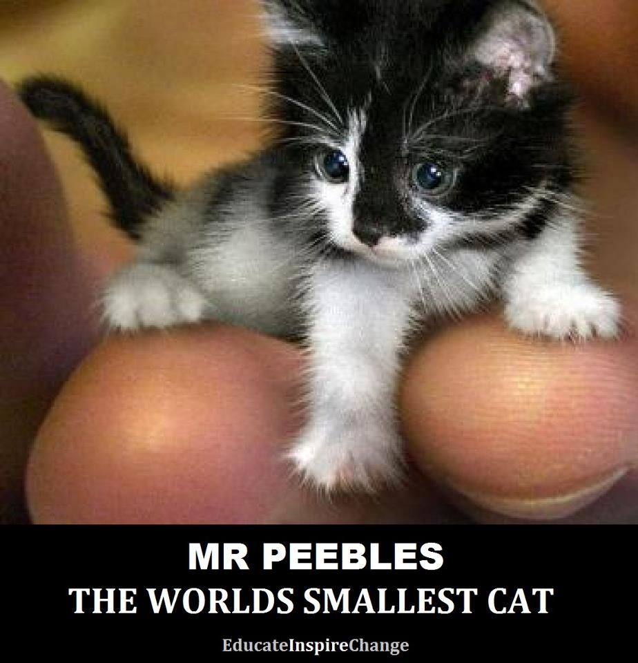 Meet Mr Peebles The World S Smallest Cat Mr Peebles May Look Like A Kitten But He Is Actually 2 Year Old The Tiny Cat Got It Kittens Cutest Cats Small Cat
