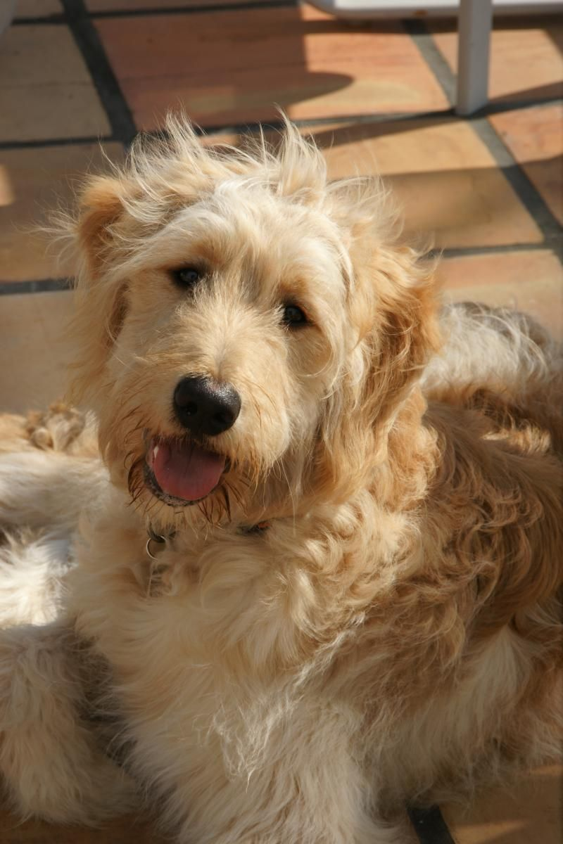 Mustard Seed Ranch Goldendoodles All Grown Up