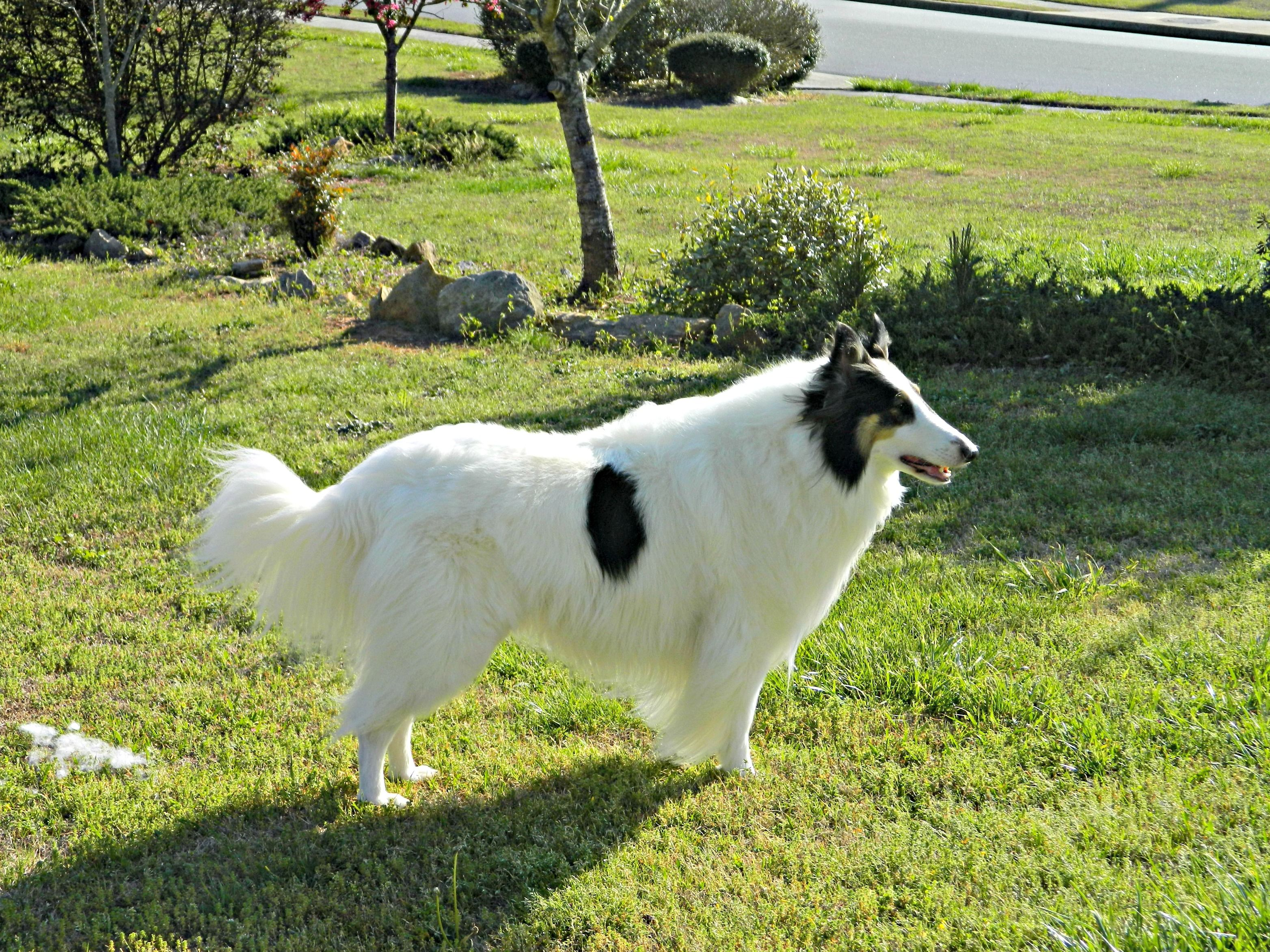 Gianna With Images Rough Collie Shepherd Dog Beautiful Dogs