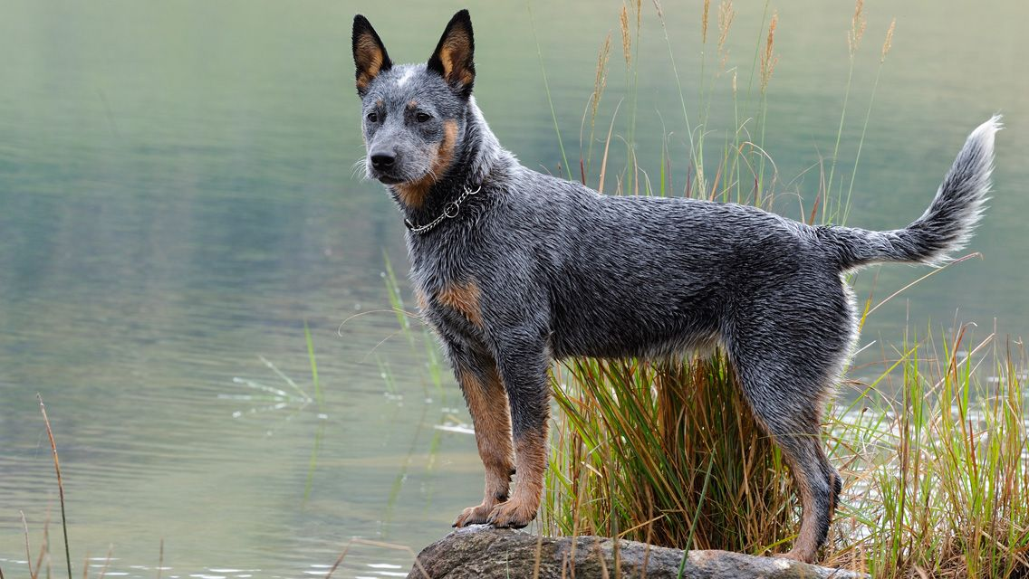 Australian Cattle Dog Breed Pictures And Information Working Dogs Breeds Herding Dogs Australian Cattle Dog