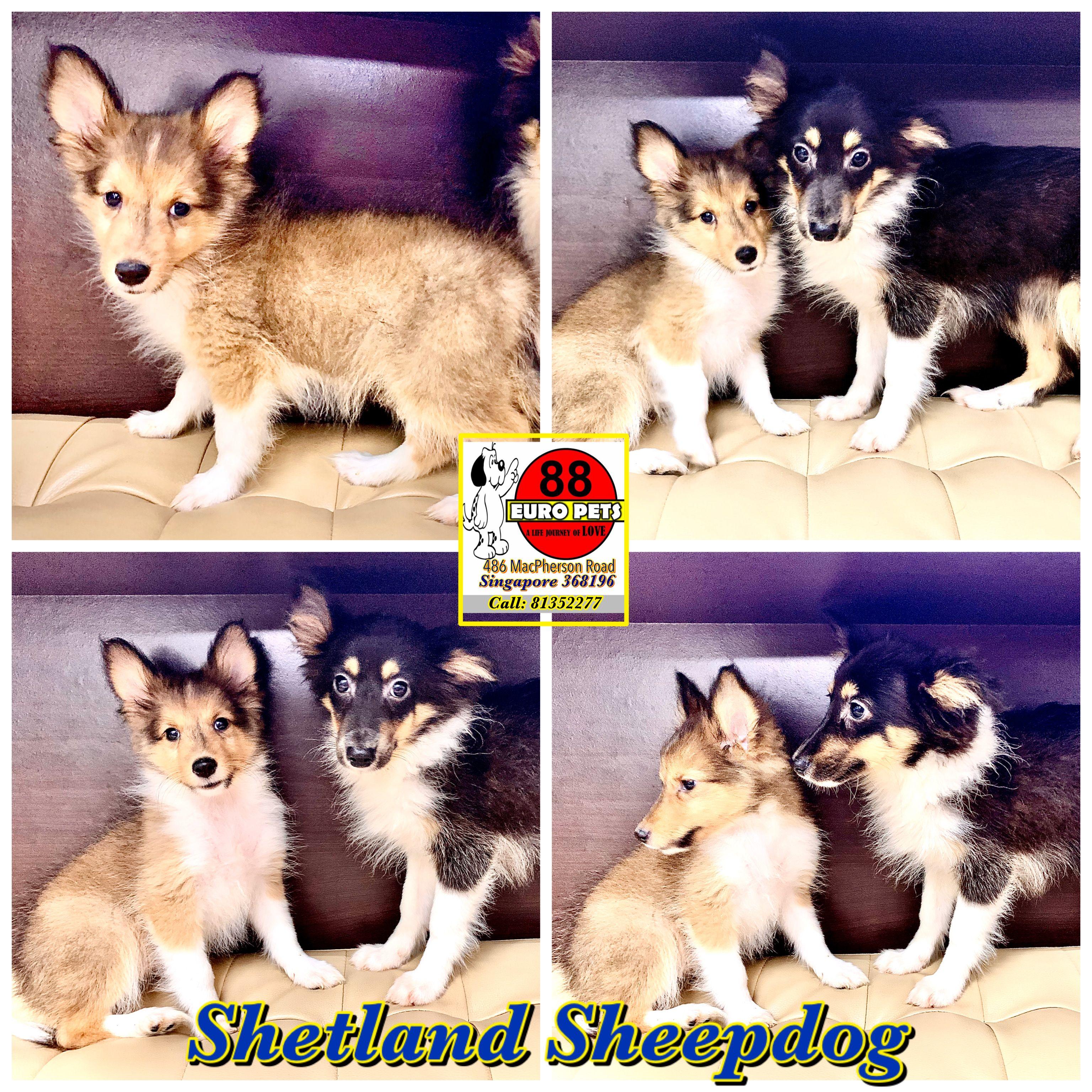 Shetland Sheepdog Full Collar 3 388 Female Available Call 81352277 Now Appointments Req Shetland Sheepdog Puppies Puppies For Sale Shetland Sheepdog