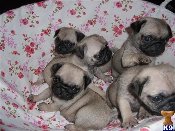 Miniature Tea Cup Pug Puppies To Teacuppug Puppies London