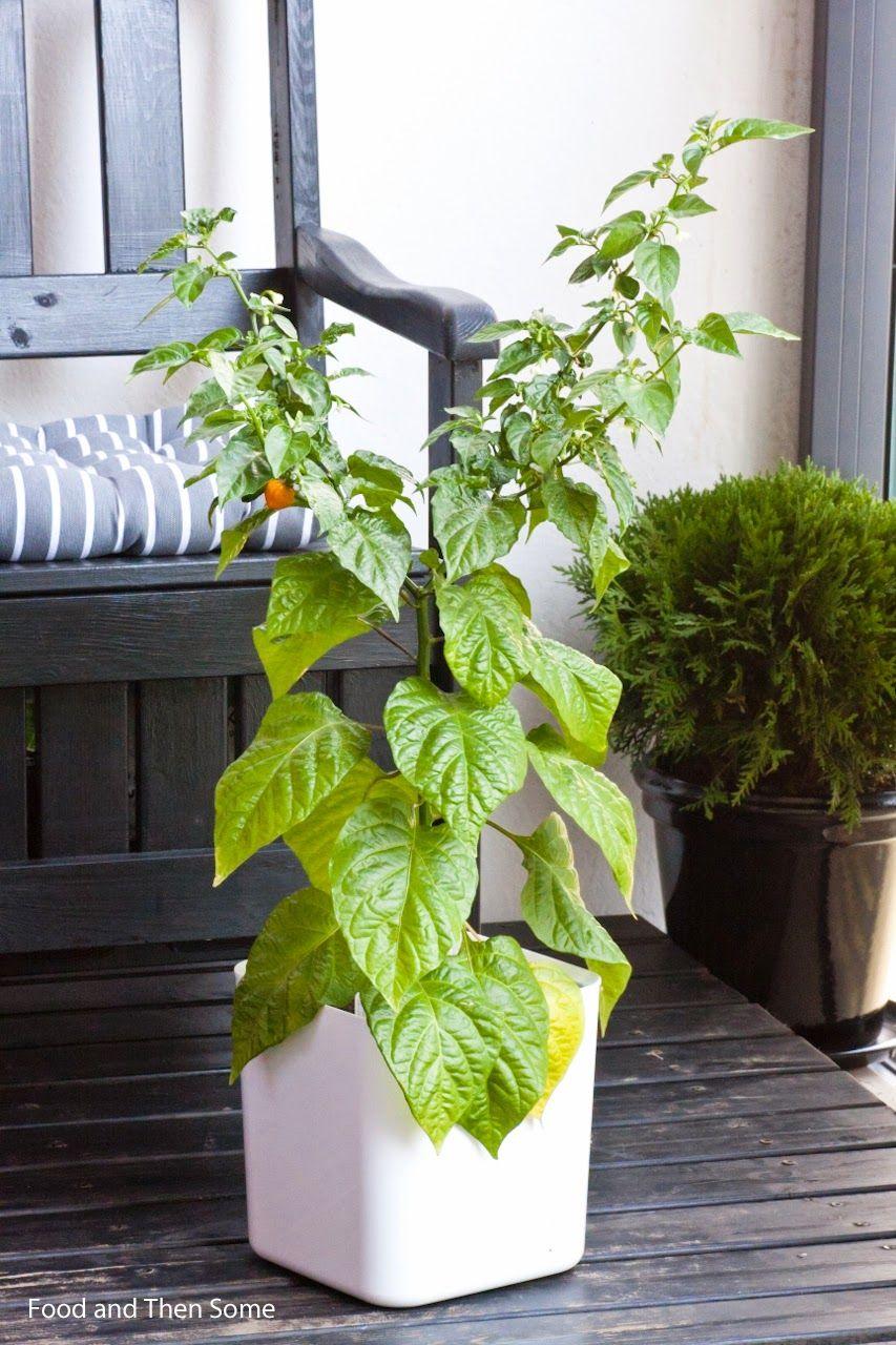 Petenero chili plant (C. chinense)