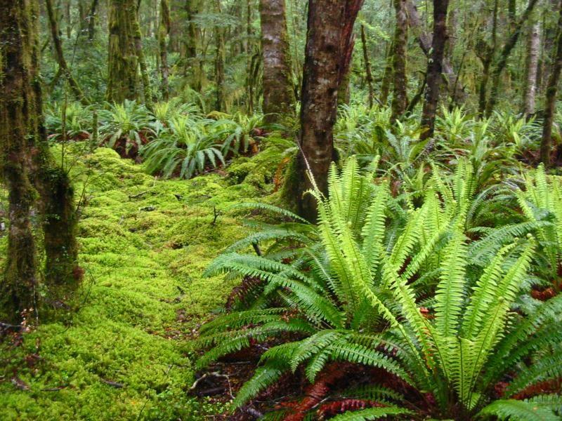 farne im regenwald tropische pflanzen pinterest farne regenw lder und tropische pflanzen. Black Bedroom Furniture Sets. Home Design Ideas
