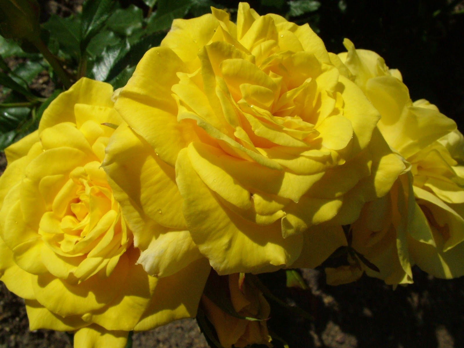 Yellow Rose Flowers High Quality Wallpaper Free Download Hd For Desktop Background Iphone Computer