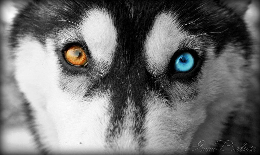 Husky Eyes | Husky eyes, Husky, Wolf eyes