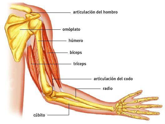 Anatomía Radiológica del Brazo | ANATOMÍA RADIOLÓGICA | Pinterest ...