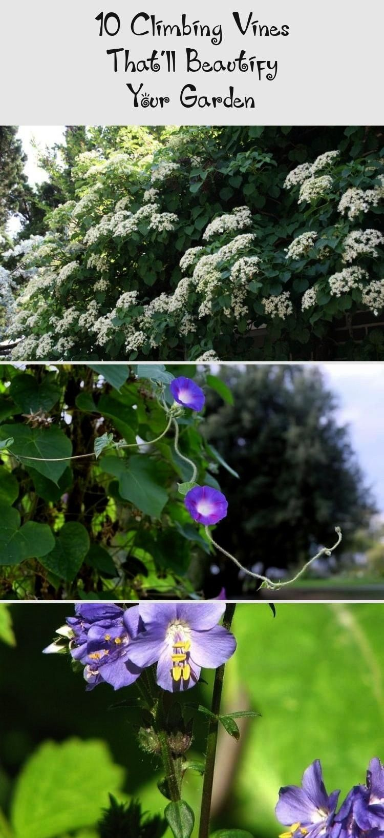 Climbing Vines Thatll Beautify Your Garden10 Climbing Vines Thatll Beautify Your Garden How to Create a Level Lawn  Page 02  Outdoors  Home  Garden Television 5 More Must...