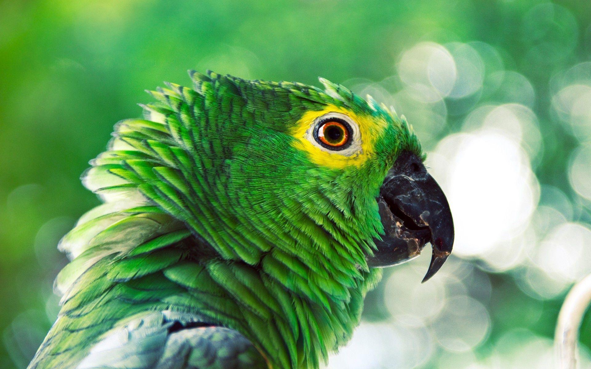 Green Parrot WallpapersHD WallpapersLaptop Wallpapers