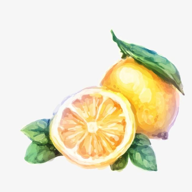 Watercolor Oranges Watercolor Fruit Fruit Vector Watercolor