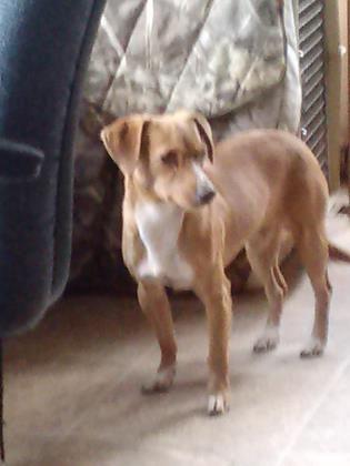 Boston Name Boston Animal Id 24176235 Breed Chihuahua Short