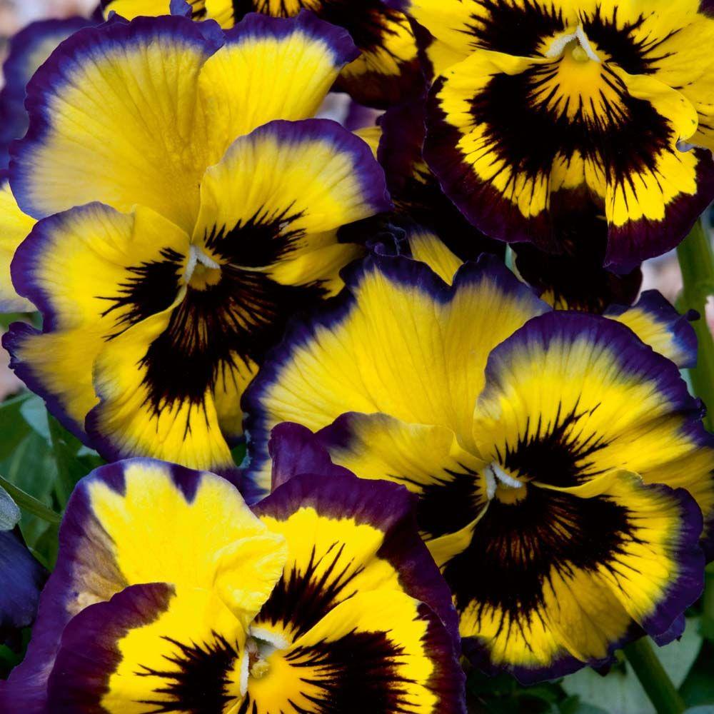 purple and yellow | Pansies flowers, Beautiful flowers ...