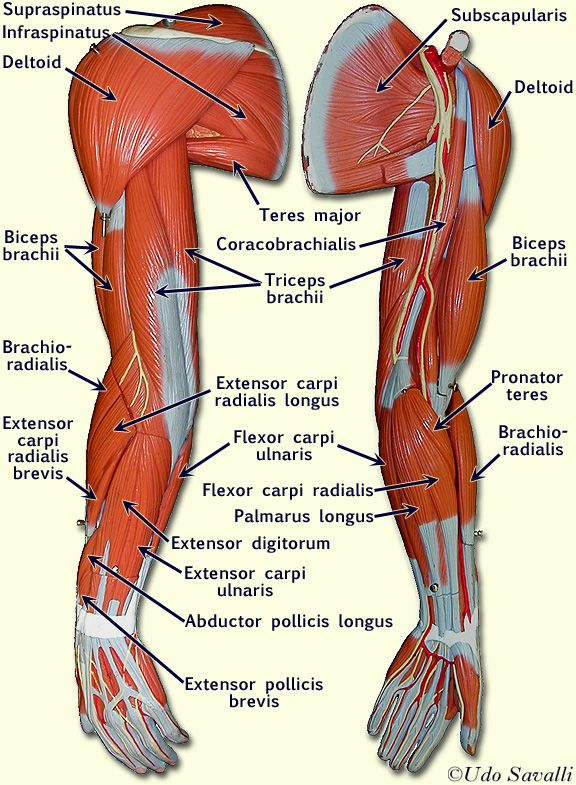 arm muscles | Information Visualized & Infographics | Pinterest ...