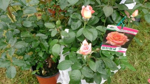 Exposition de  roses