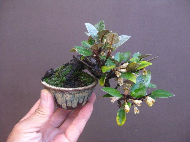Bonsai mini e for Alberelli da esterno
