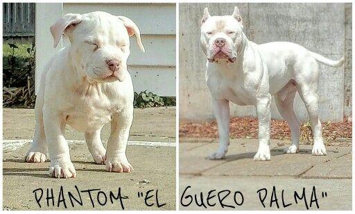 Transformation Dogs Animals Pitbulls