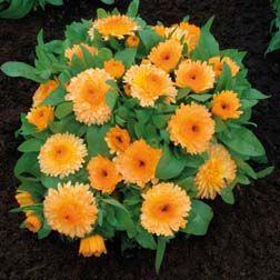 ORANGE POT MARIGOLD DWARF GITANA 250 SEEDS Calendula officinalis ANNUAL FLOWER