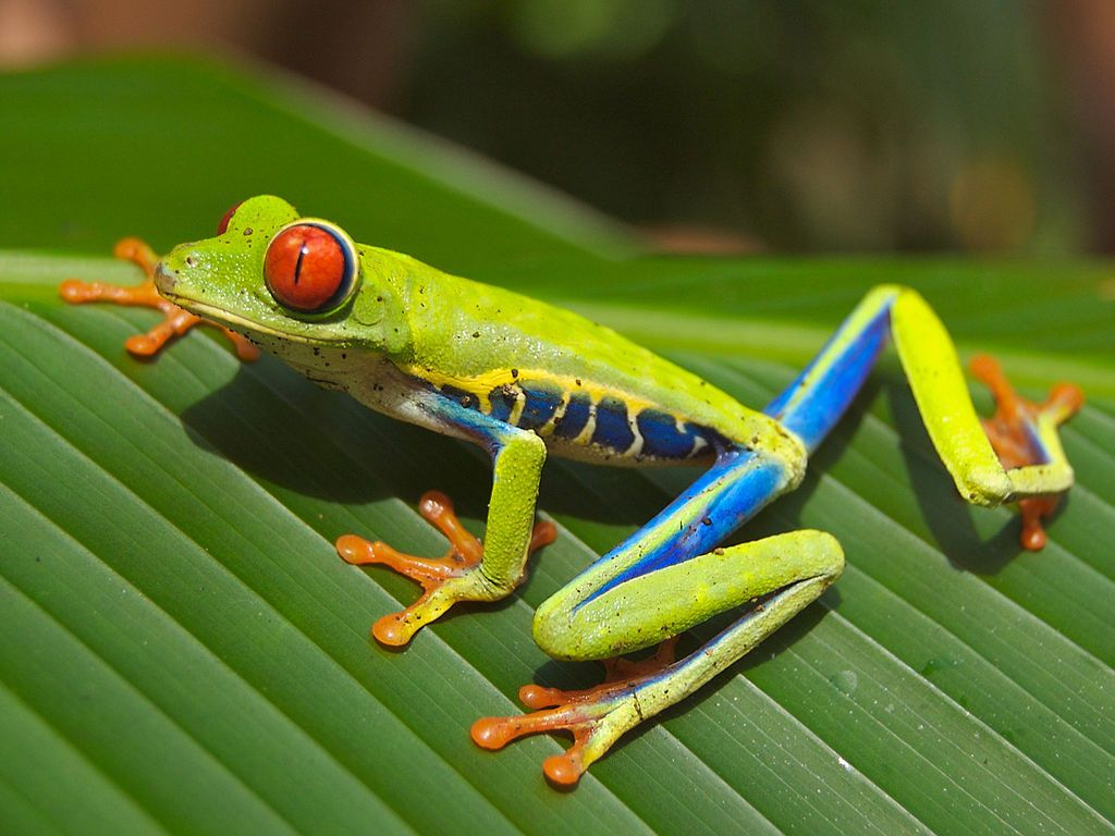 Red Eyed Tree Frog by Carey James Balboa:)