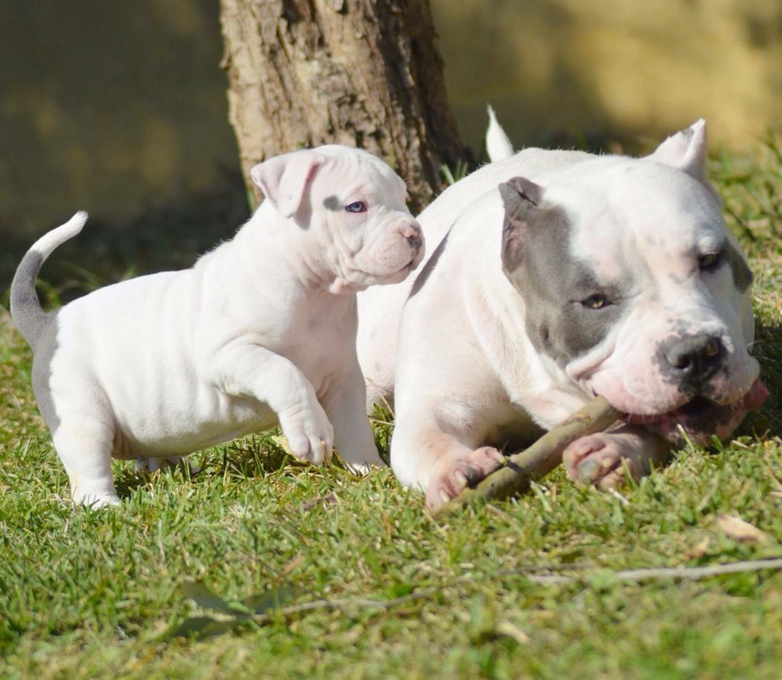 American Bully XL Puppies Puppy for sale,XXL bully pitbull