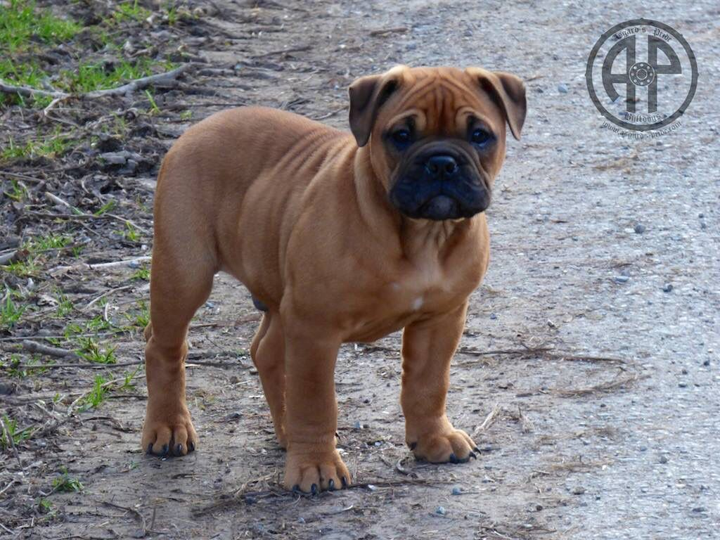 Ap Just One 10 Weeks Old On Pic Continental Bulldog Male Out Of