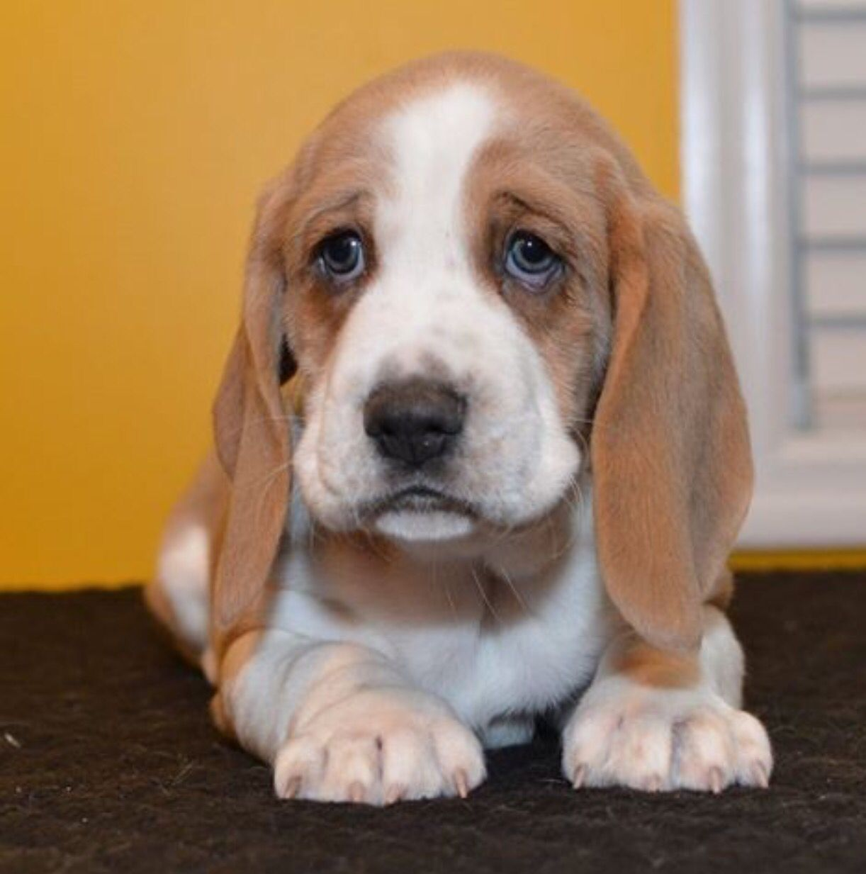 Barnesbassets Basset Dog Basset Hound Puppy Basset Puppies