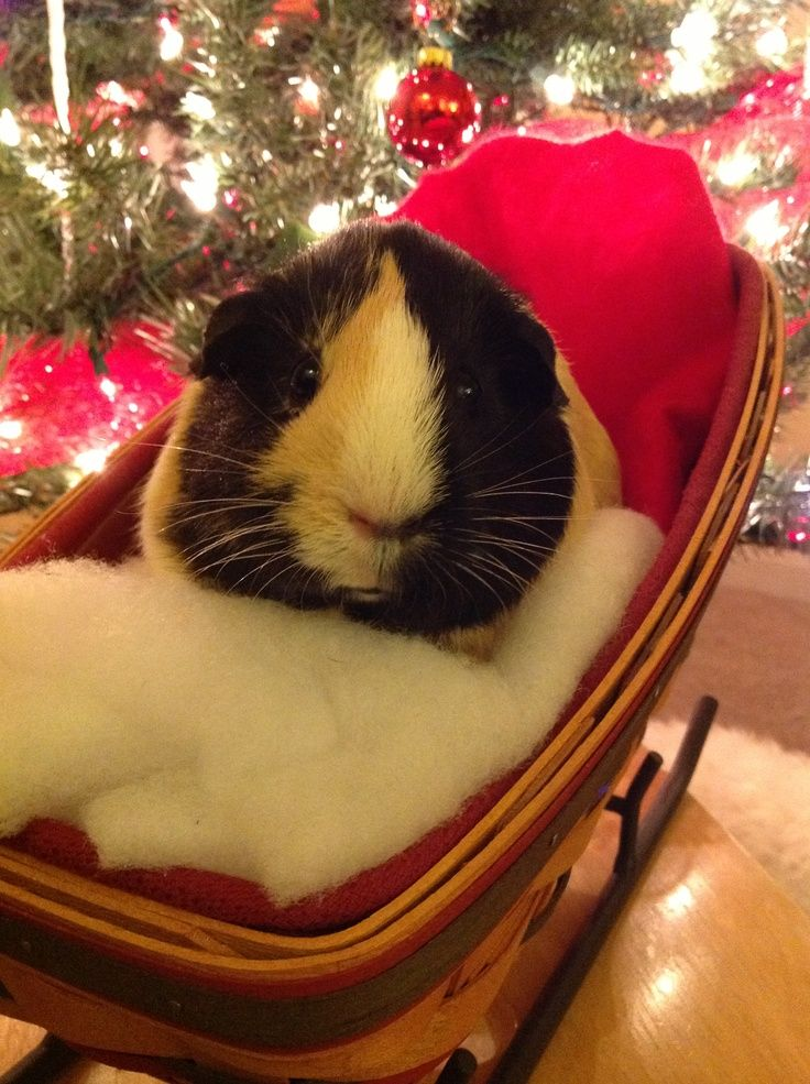 Pin on My favorite pictures with Guinea pigs