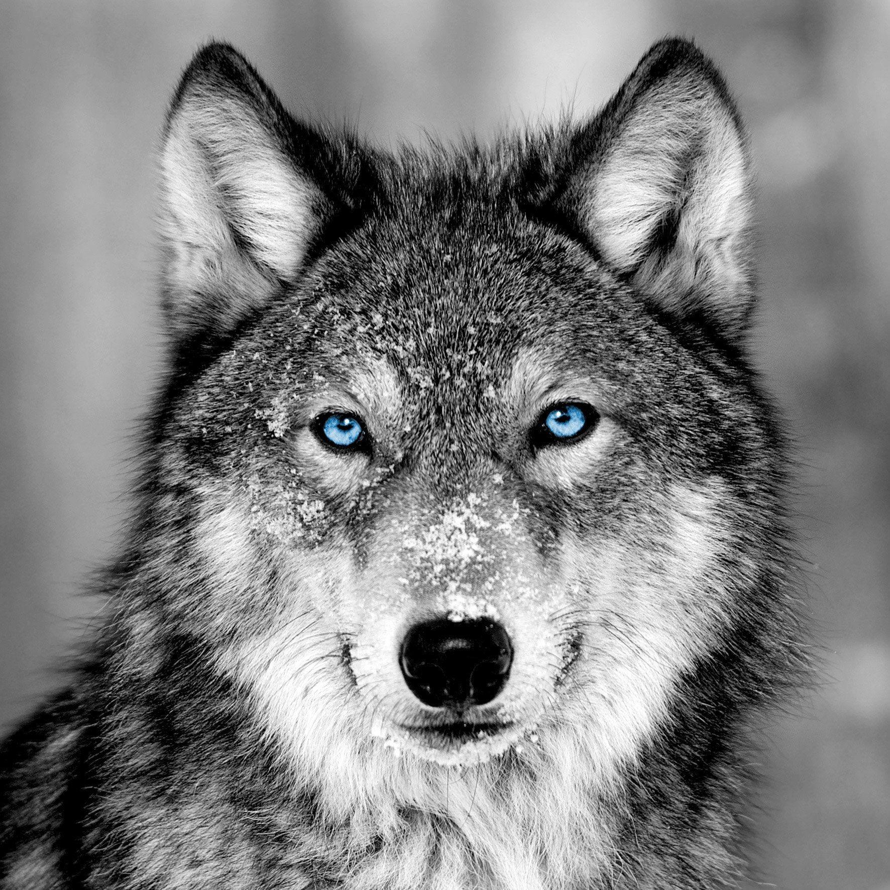 Verre Imprime Loup Blue Eyes Gris Noir Et Bleu Artis L 43 5 X H 43 5 Cm Chien Loup Blanc Yeux De Loup Images Loup