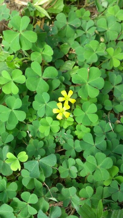 Wood Sorrel Oxalis Has 3 Heart Shaped Leaves That Resemble True