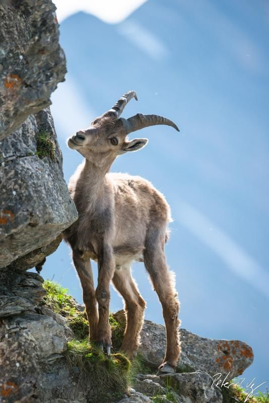 ☀Young alpine ibex on Brienzer Rothorn, Switzerland`~Young ibex by Peter Wey