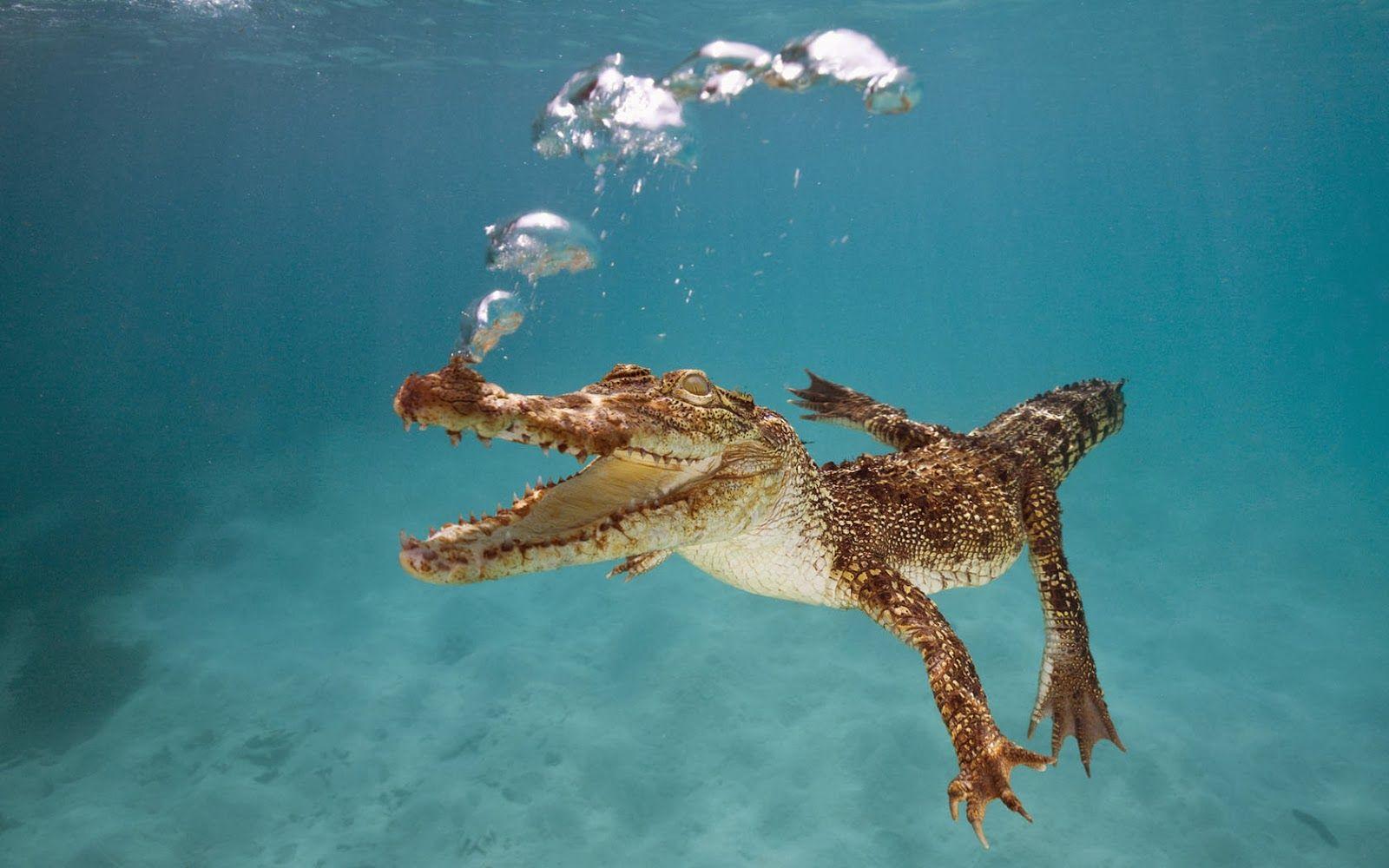 wallpaper krokodil unter wasser  krokodil unterwasser