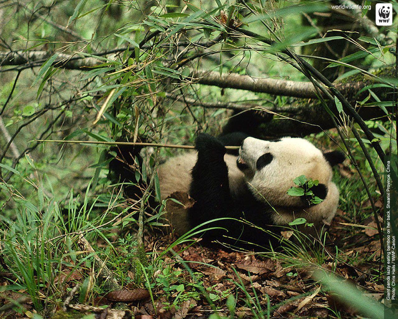 Panda Wallpaper Wwf With Images Panda Wallpapers Wildlife