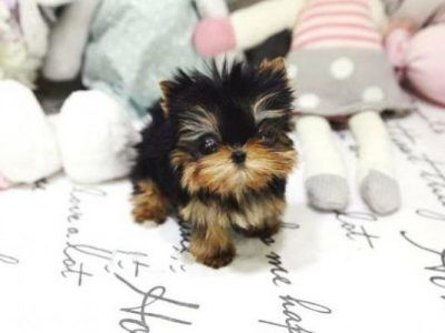 All Puppies For Sale MICROTEACUPS Posh Pocket Pups