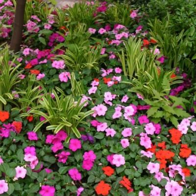 Impatiens Love The Shade Filtered Sun And Morning Sun With