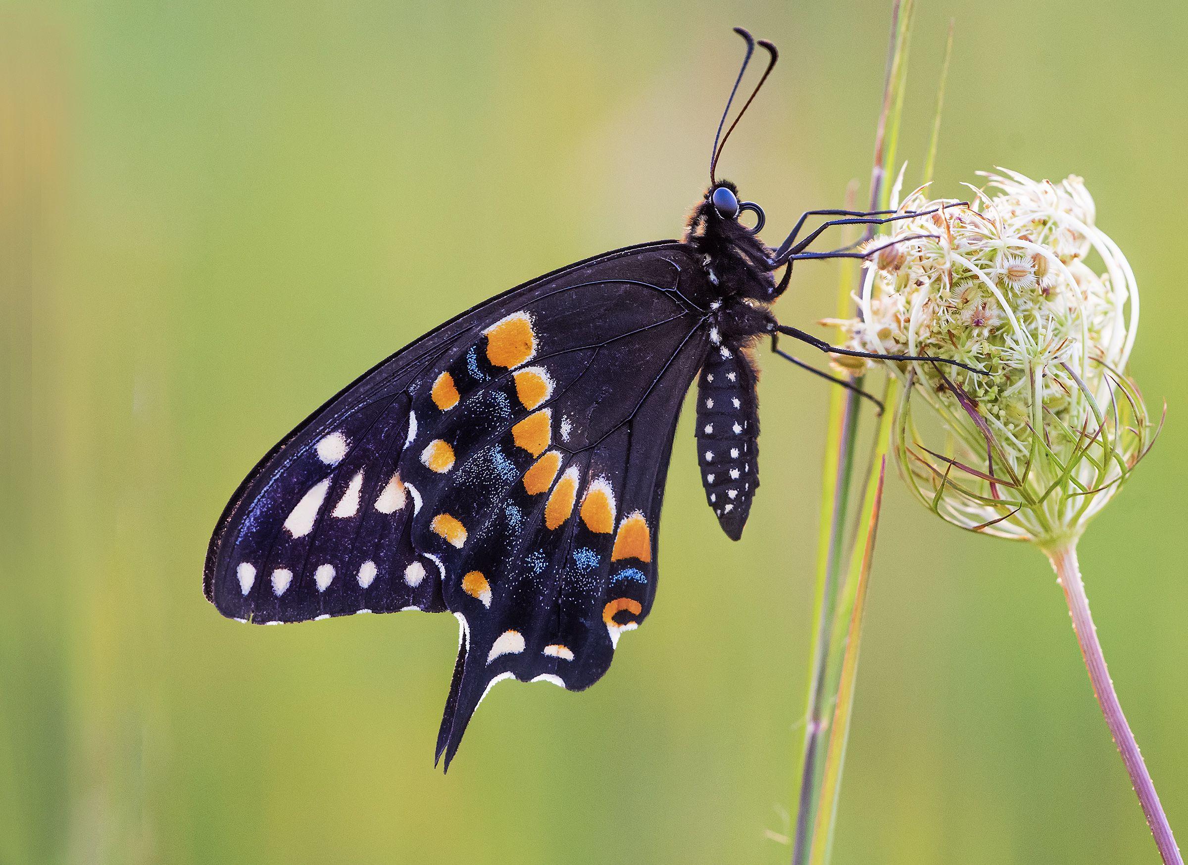 Black swallowtail papilio polyxenes swallowtail