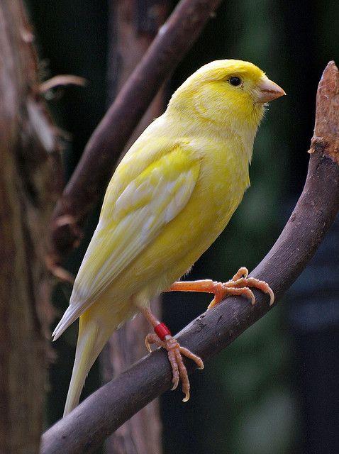 Yellow Canary Canary Birds Pet Birds Birds
