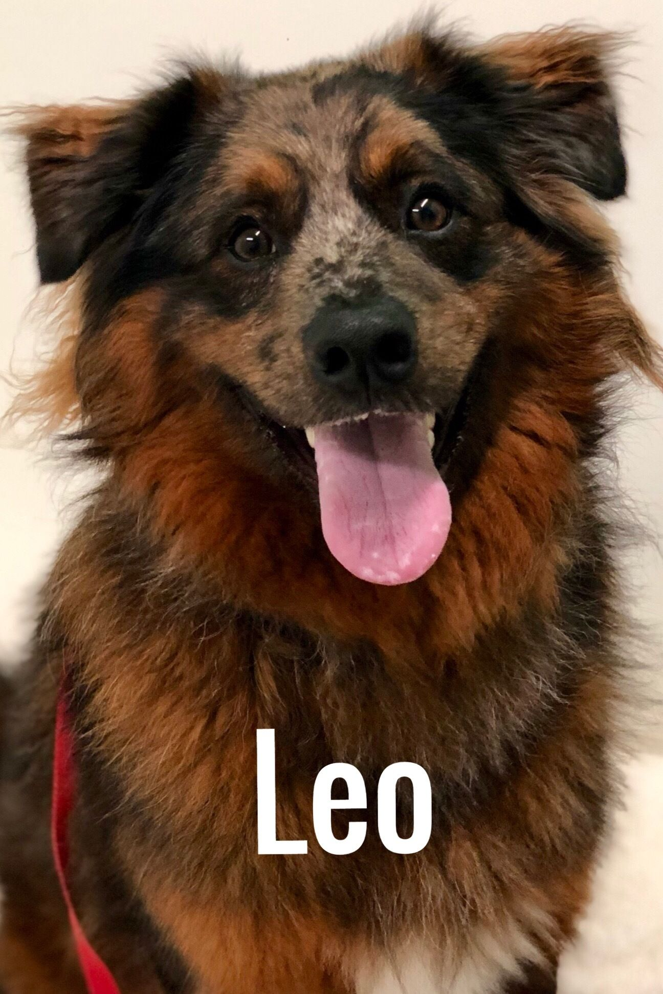 Adopt Leo on Animal welfare society, Australian shepherd