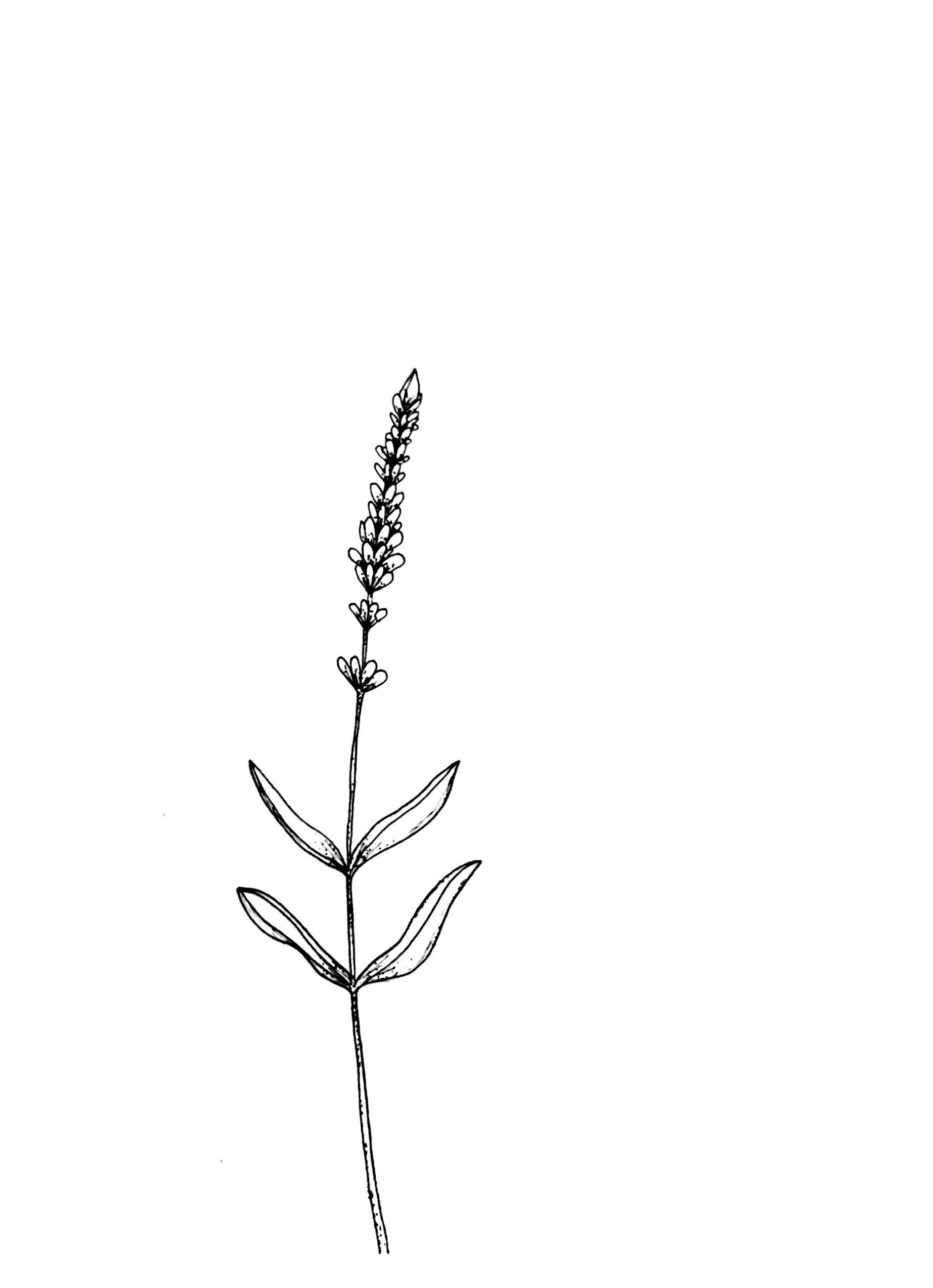 @hometattoo A sprig of lavender and rosemary. | Rosemary ... |Lavender Tattoo Outline