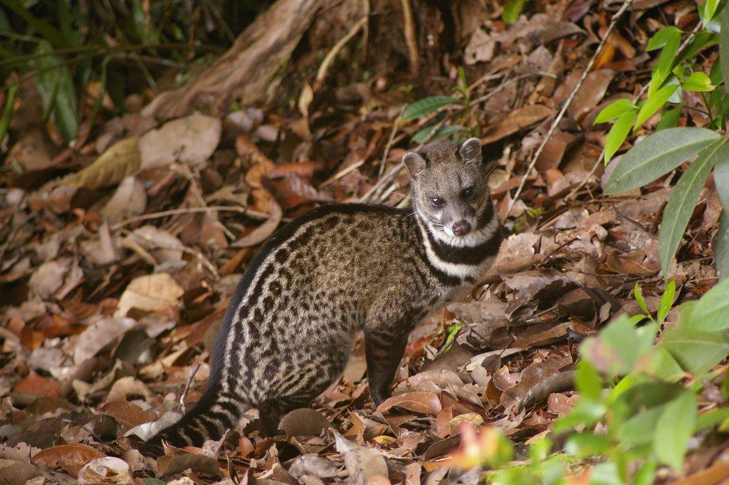 MALAY CIVET CAT Viverra tangalunga ©Fiona236a Location
