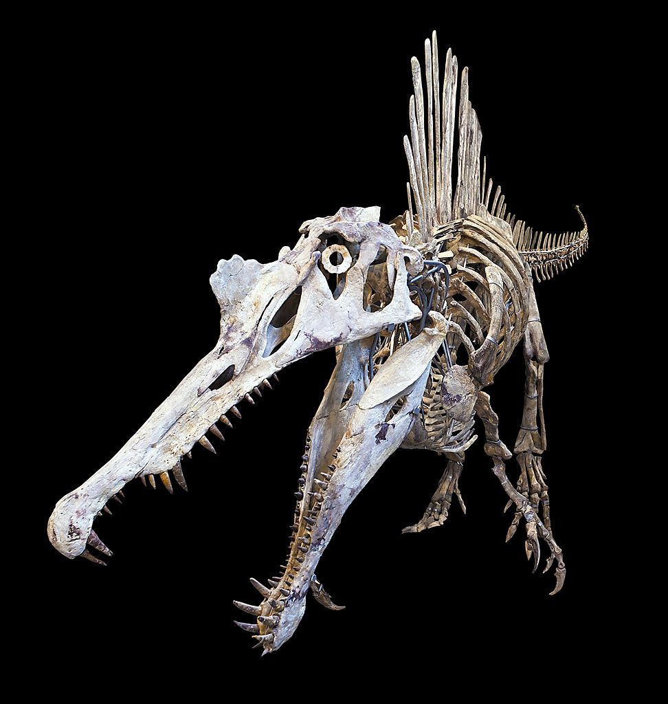 Spinosaurus--These dinosaurs were possibly the largest of all carnivorous dinos, maybe even larger than Tyrannosaurus and Gigantosaurus.