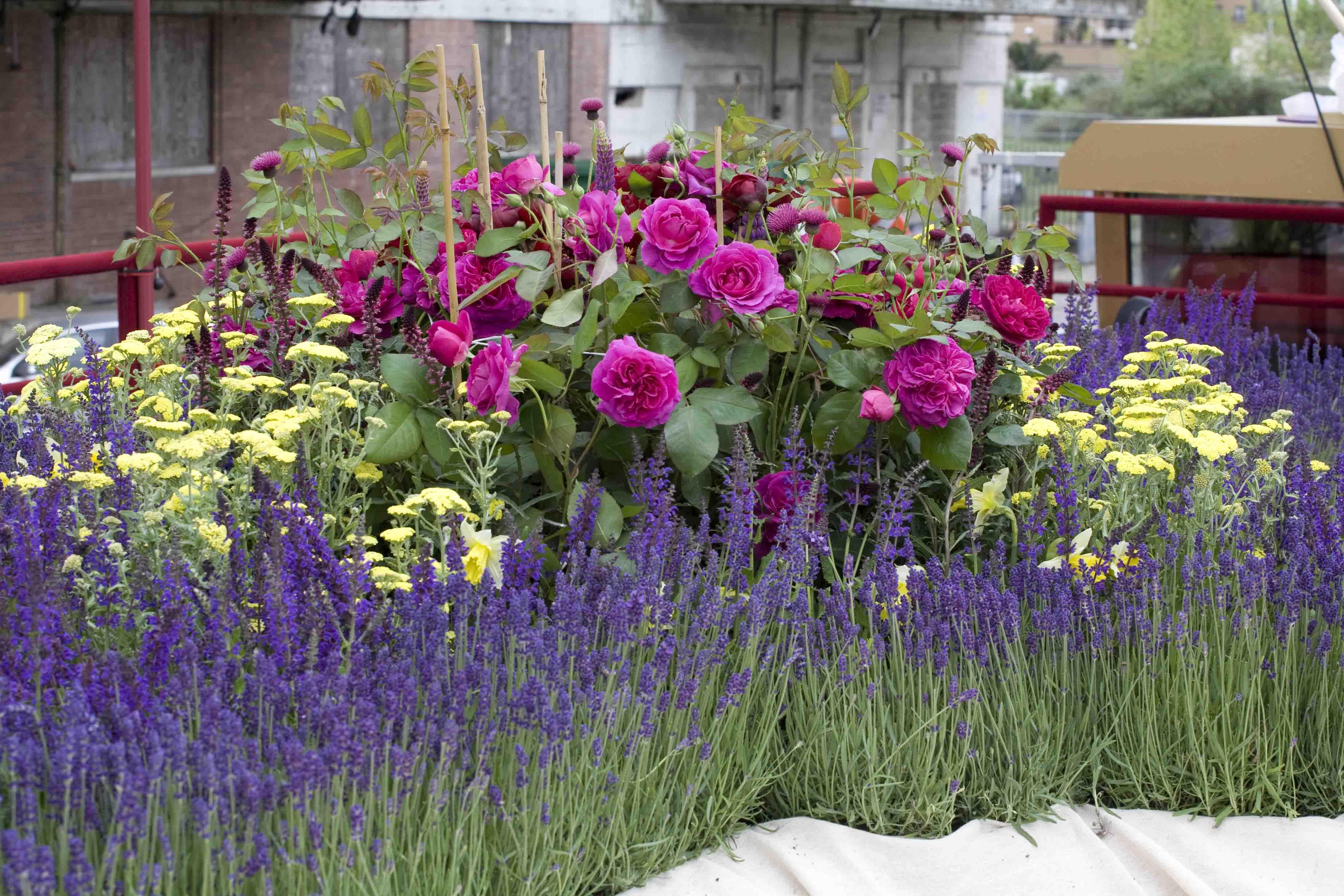 rose royal jubilee google search gardening pinterest