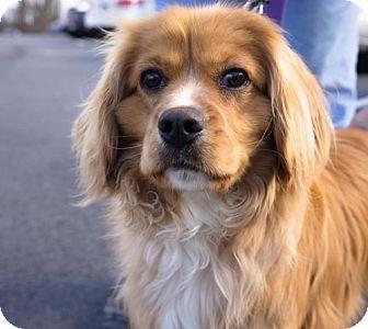 2 28 16 Birdsboro Pa Cocker Spaniel Mix Meet Daniel A Dog For Adoption Http Www Adoptapet Com Pet 15007 Cocker Spaniel Mix Kitten Adoption Dog Adoption