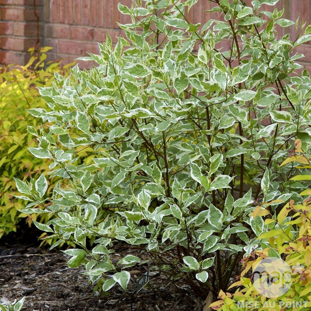 Image result for Cornus alba 'Elegantissima', underplanted