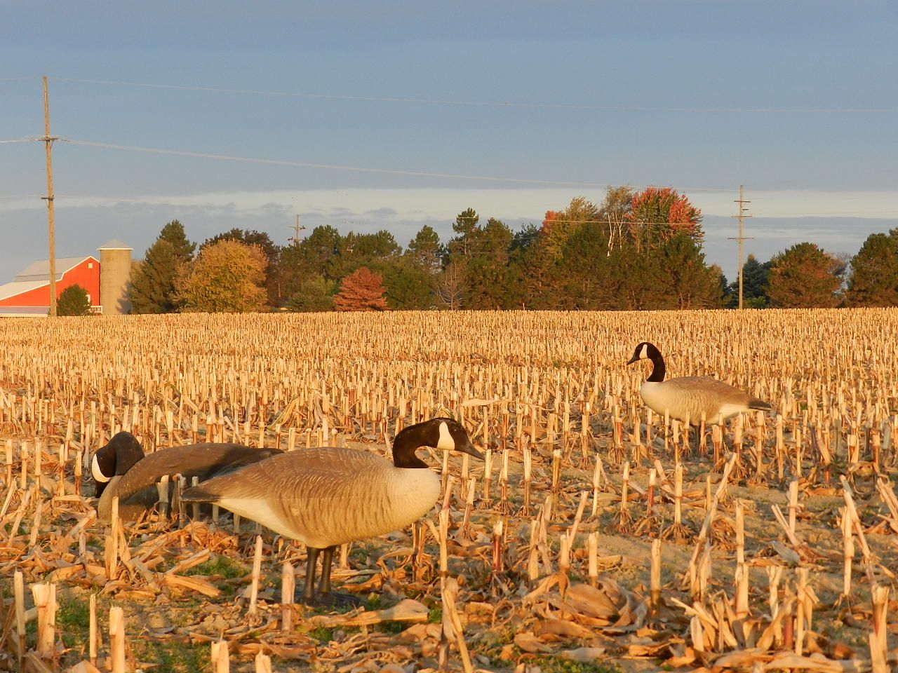 Goose hunting waterfowl hunting strategy how to hunt waterfowl realtree pictures for Wisconsin exterior goose season