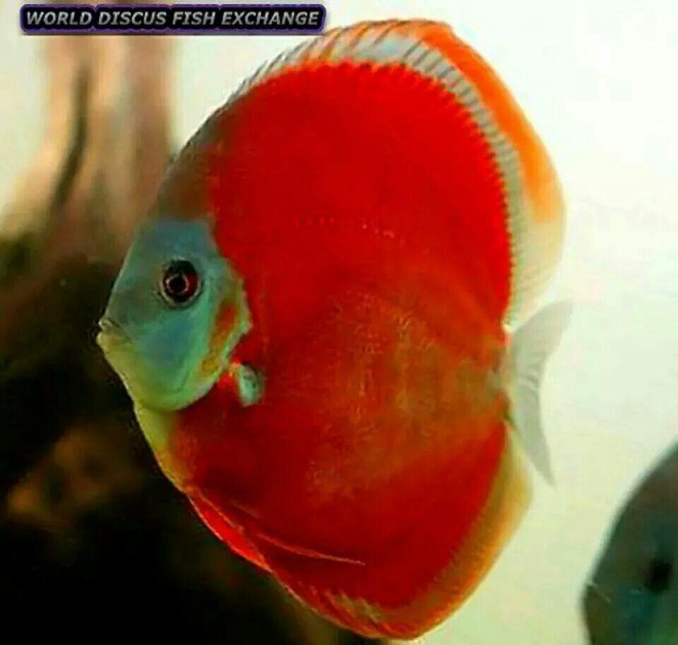 Discus | discus | Pinterest | Discus, Fish and Aquariums