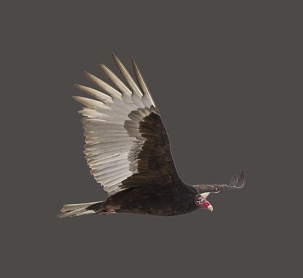 Black Bird Itis