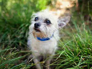 Tiny 5 3 Pounds Maltese Mix Is An Adoptable Maltese Dog In Seattle