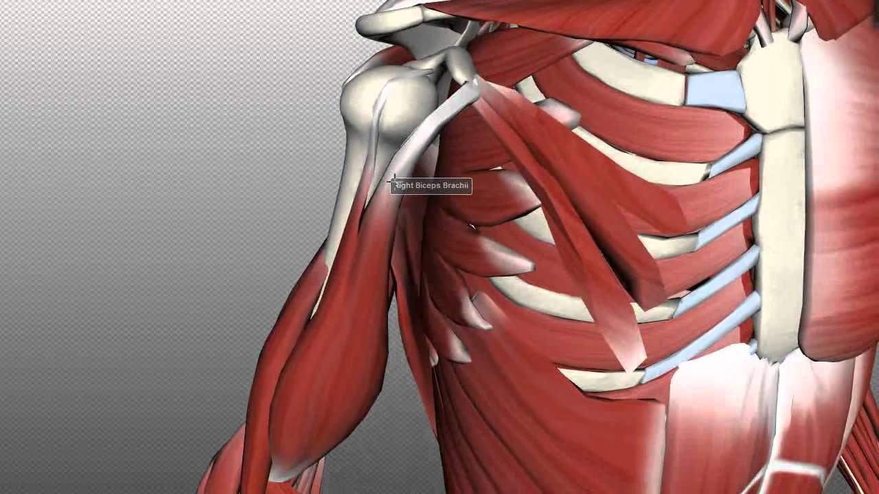 Muscles of the Upper Arm - Anatomy Tutorial | Anatomy and physiology ...